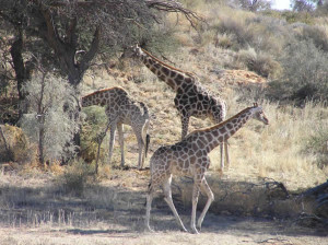 Giraffes, Kgalagadi Transfrontier Park, South Africa. Author and Copyright Marco Ramerini