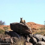Klipspringer, Augrabies Falls National Park, South Africa. Author and Copyright Marco Ramerini
