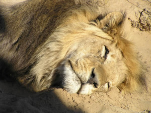 Lion of the Kalahari, Kgalagadi Transfrontier Park, South Africa. Author and Copyright Marco Ramerini
