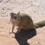 Yellow mongoose, Kgalagadi Transfrontier Park, South Africa. Author and Copyright Marco Ramerini