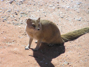 Yellow mongoose, Kgalagadi Transfrontier Park, South Africa. Author and Copyright Marco Ramerini