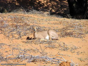Steenbok, Kgalagadi Transfrontier Park, South Africa. Author and Copyright Marco Ramerini