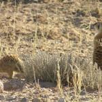 Suricate, Kgalagadi Transfrontier Park, South Africa. Author and Copyright Marco Ramerini