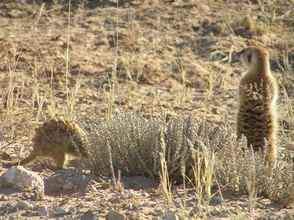 Die Kalahari-Fauna: Erdmännchen und Mangusten