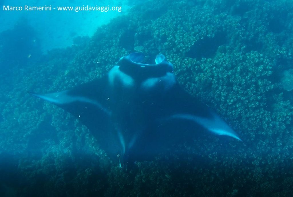 Manta ray between the islands of Drawaqa and Naviti, Yasawa Islands, Fiji. Author and Copyright Marco Ramerini.