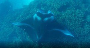 Manta ray between the islands of Drawaqa and Naviti, Yasawa Islands, Fiji. Author and Copyright Marco Ramerini.