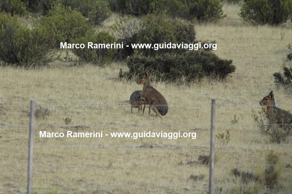 Patagonian mara, Valdés Peninsula, Argentina. Author and Copyright Marco Ramerini