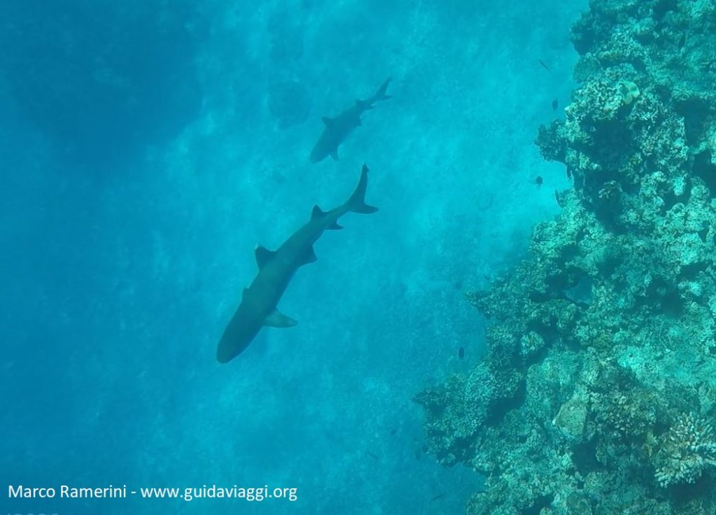 Shark snorkeling, Kuata Island, Yasawa Islands, Fiji. Author and Copyright Marco Ramerini