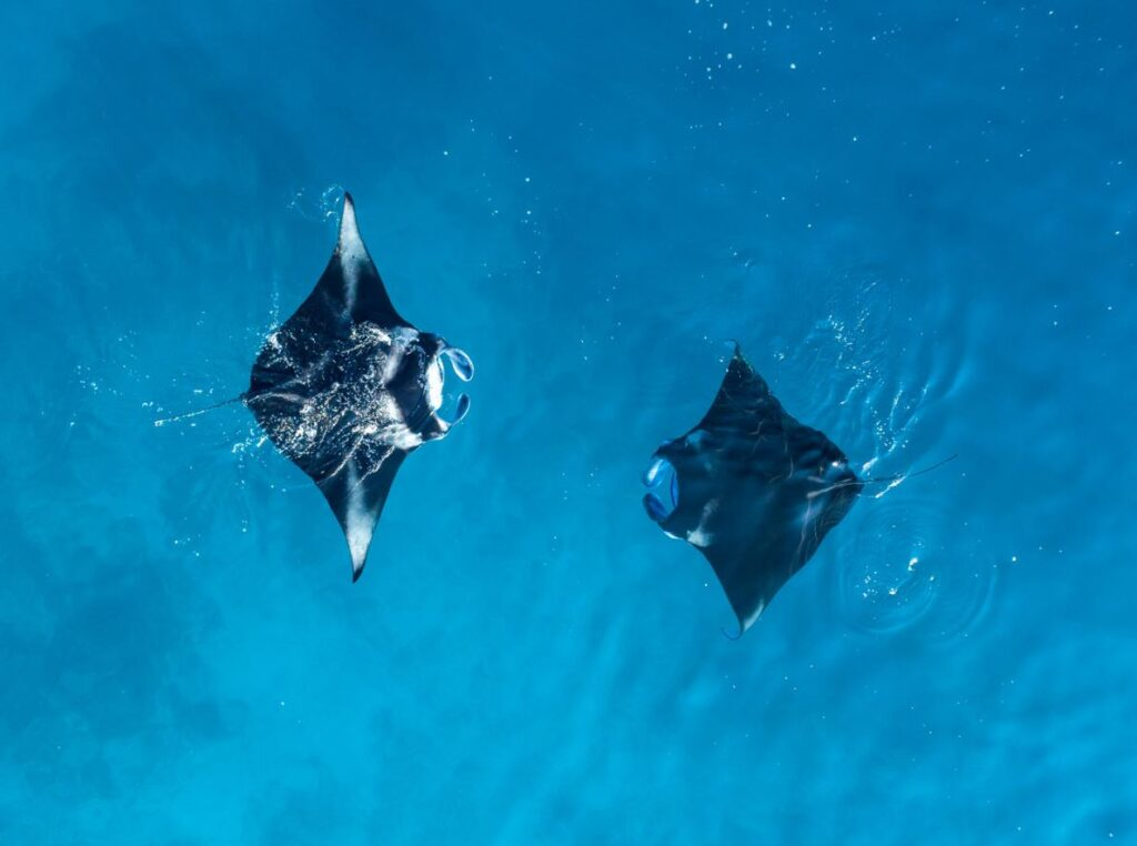 Manta rays in the waters of the Maldives. Credit Maldives Tourism